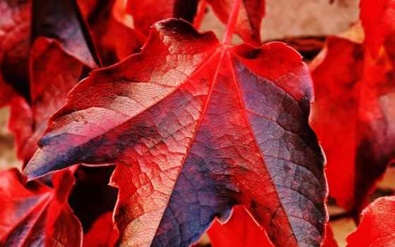ivy, листва, красные, jesień, zobacz, нояб, осенние, red,