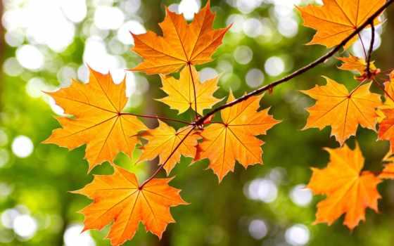 maple, листья, осень, yellow, ветви, red, природа, дерево,