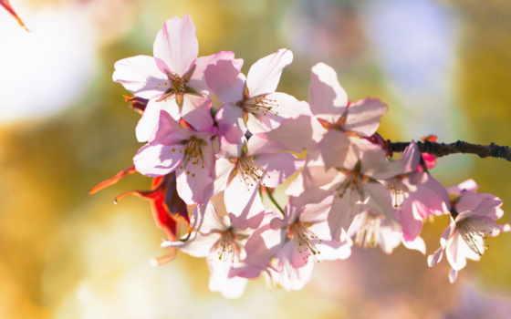макро, цветение, branch, ветке, весна,