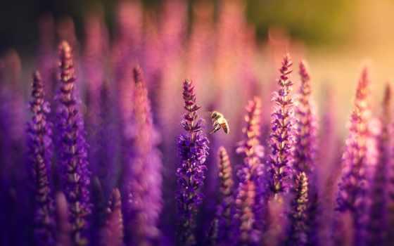lavender, cvety, поле, сиреневые, природа, боке, пчелка,
