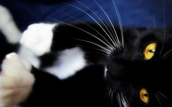 морда, животное, black, кот, kot, кошка, мебель, sunduk, лапа, osen