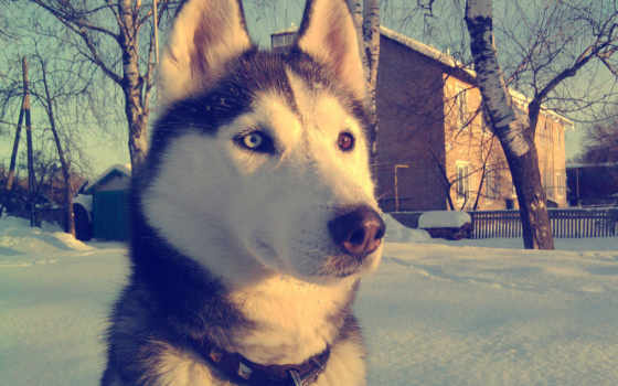 хаски, winter