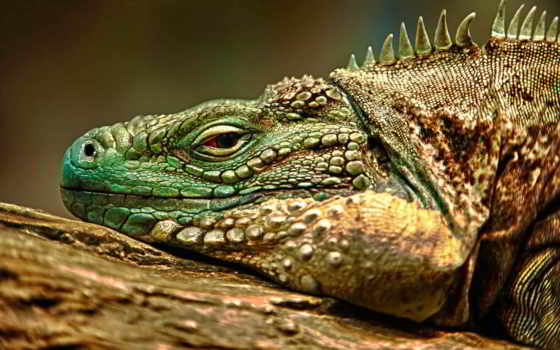 iguana, ящер Фон № 107724 разрешение 2560x1700