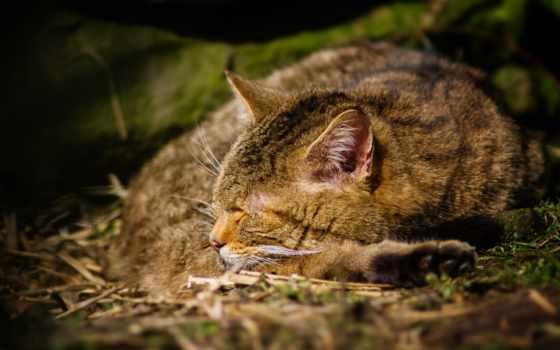 кот, спит, zhivotnye, спать, серый, отдых, locust, striped, картинка, кузнечики,