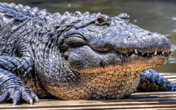 крокодил, reptile, jaguar, песок, browse,