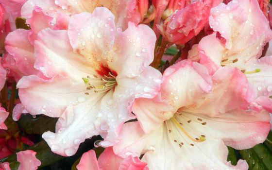 лилии, цветы, красивые