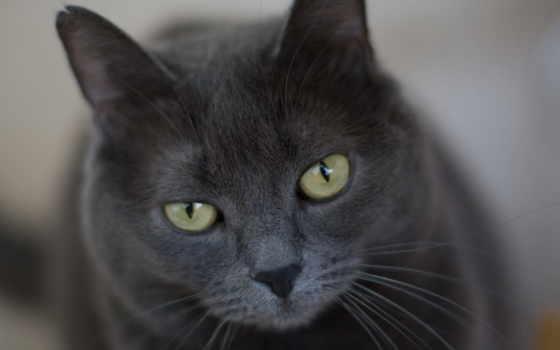 ecran, chat, fonds, fond, des, gris, avec, yeux,
