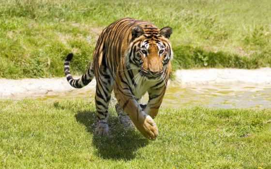 harimau, dan, кошачьих