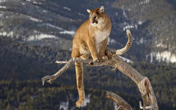 puma, zhivotnye, lion, горные, гора, пумы, львы, кот, страница, горах,