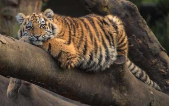 тигр, kot, животное, кот, liked,