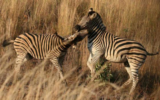 zebra, desktop, зебры, zhivotnye, природа, best, animals, яndex,
