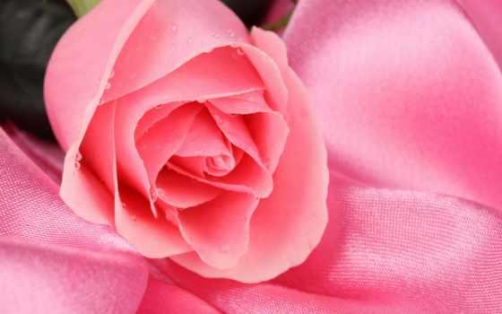 розы, roses, наши, тебя, прекрасны, розовый, premium,