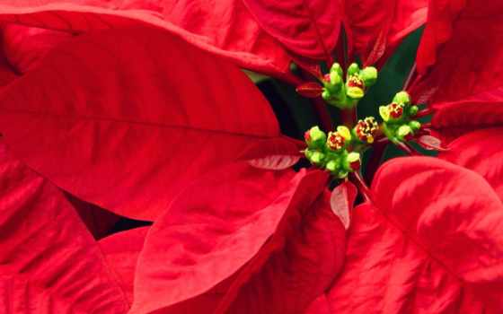 цветок, красный, цветами