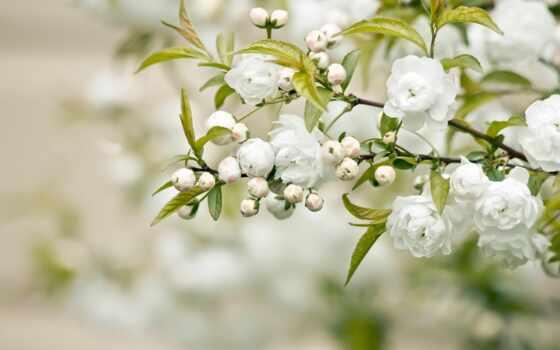 цветы, белые, листья