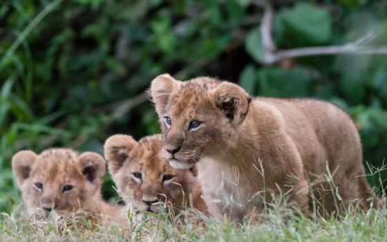 lion, cubs, pictures, desktop, детишки, baby, high,
