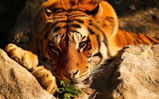 высокого, качества, широкоформатные, тигр, разрешения, browse,