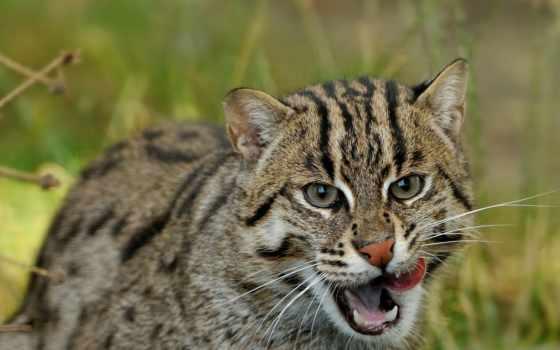 кот, рыбак, виверровый, кошки, felis, asian, любит, fish, дикие, viverrina,