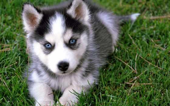 хаски, породы, собака, яndex, маленькие, щенок, seastar, card, щенки, очень,