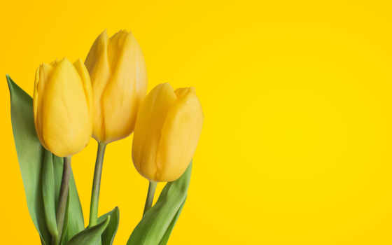 tulips, yellow, flowers, фон, red, resolutions, mobile, desktop,