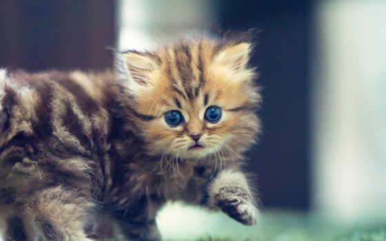 котенок, daisy, torode, кот, бен, benjamin, взгляд, пушистый, glaza, голубые,