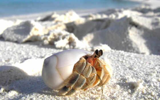 crab, отшельник, зооклубе, coenobita, крабы, макро, clypeatus, land, песок, неволе,