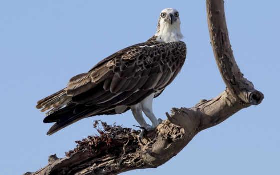 ветки, дерево, разных, хищные, видов, обоях, птицы, windows, птица, дек, сухое,