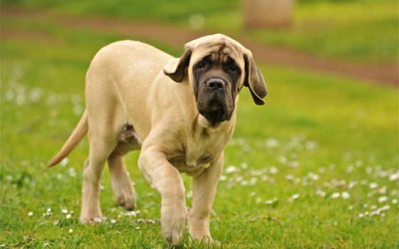 mastiff, english, породы, история, zooclub, мастифа, собак, мастифы, maintenance,