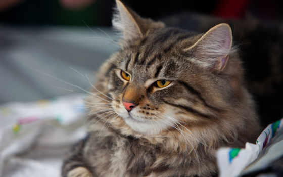 кошки, кот, striped