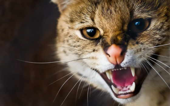 ухмылка, кот, дикая, ус, морда, сервал, хищник, леопард,