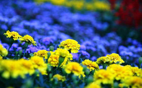 желтые, синие, цветы, клумба,