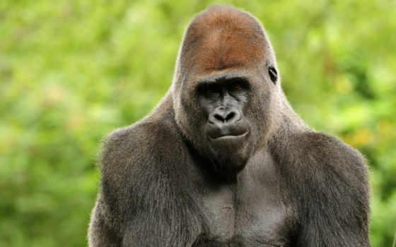 горилла, обезьяна, взгляд