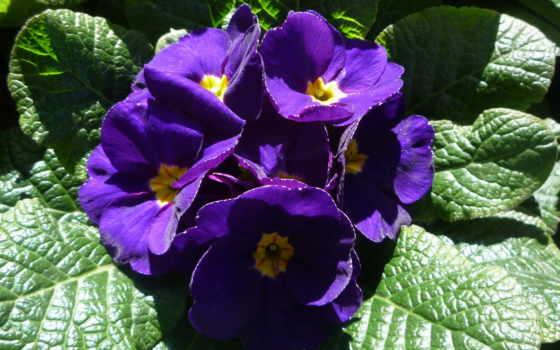 цветы, фиолетовый, фиалки