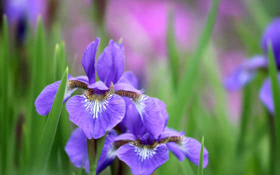 ирисы, cvety, iris