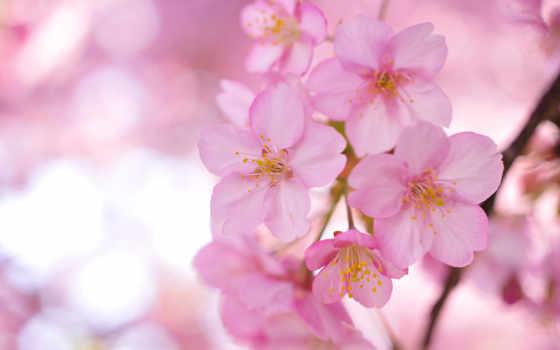цветы, широкоформатные, Сакура