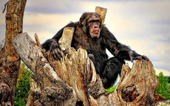 puzzle, шимпанзе, вышивки, online, схема, time, royal, zhivotnye, lat, названием, представлена,