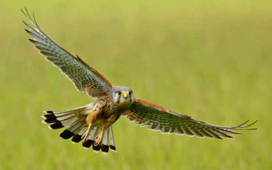 полет, птица, крылья, волна, hawk, небо,