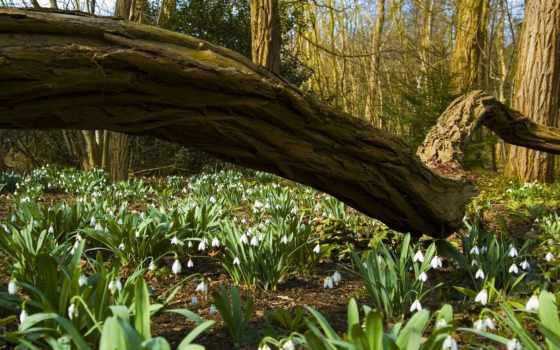 весна, природа, лес, desktop, free, flowers, подснежники,
