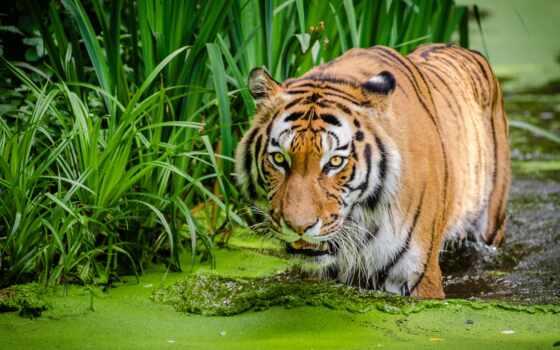 тигр, animal, кот, руслан, free, вертикальный, ipad, ahmetshina, биг