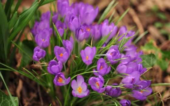 весна, цветы, природа, макро, картинка, горизонтали, имеет, вертикали,