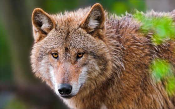 волки, высокого, качества