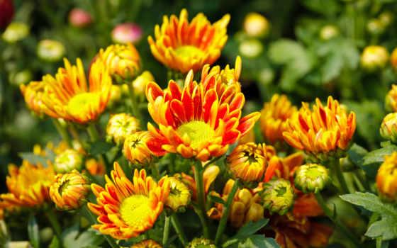 цветы, хризантемы, оранжевый