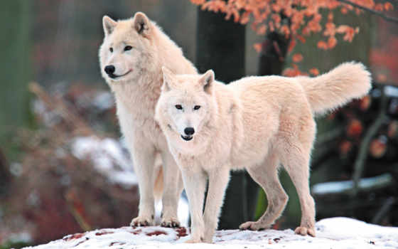 волк, телефон, бесплатную, картинка, mobile, картинку, animals, волки,