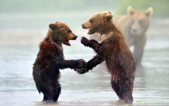 ,медведи, природы, дикой, медвежата, река,
