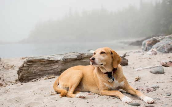 resting, собака, dogs, animals, animal, пляж, desktop, are,