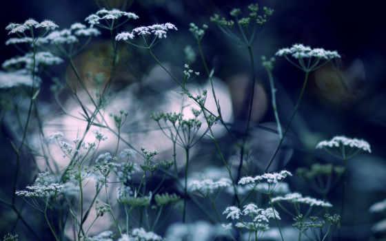 cvety, мелкие, белые, дек, красивые, назад, fone,