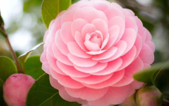 камелия, цветы, картинка, flowers, uchun, desktop, лепестки, листва,