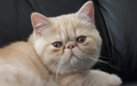 кот, короткошёрстная, экзотическая
