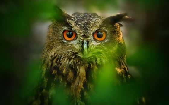 сова, птица, взгляд, свет, листва, online, совы, неясыть, самое, страница, размытость,