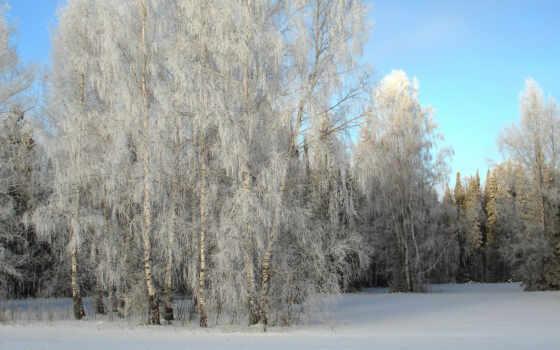 коллекция, береза, природа, снег, winter, trees, free, яndex, grove