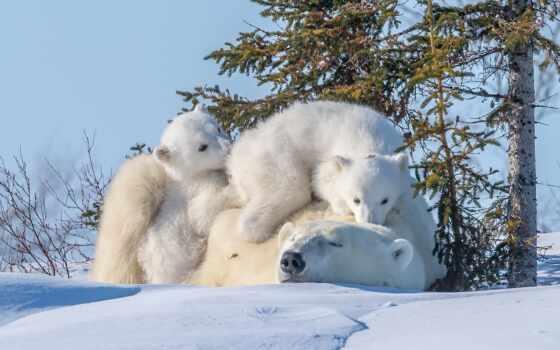 медведь, polar, музыка, взгляд, комментарий, rate, pinterest